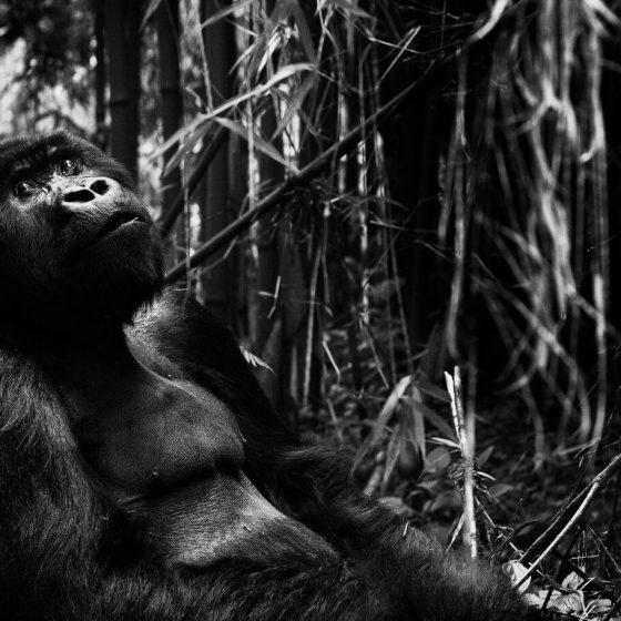 Black and white version of gorilla in rainforest