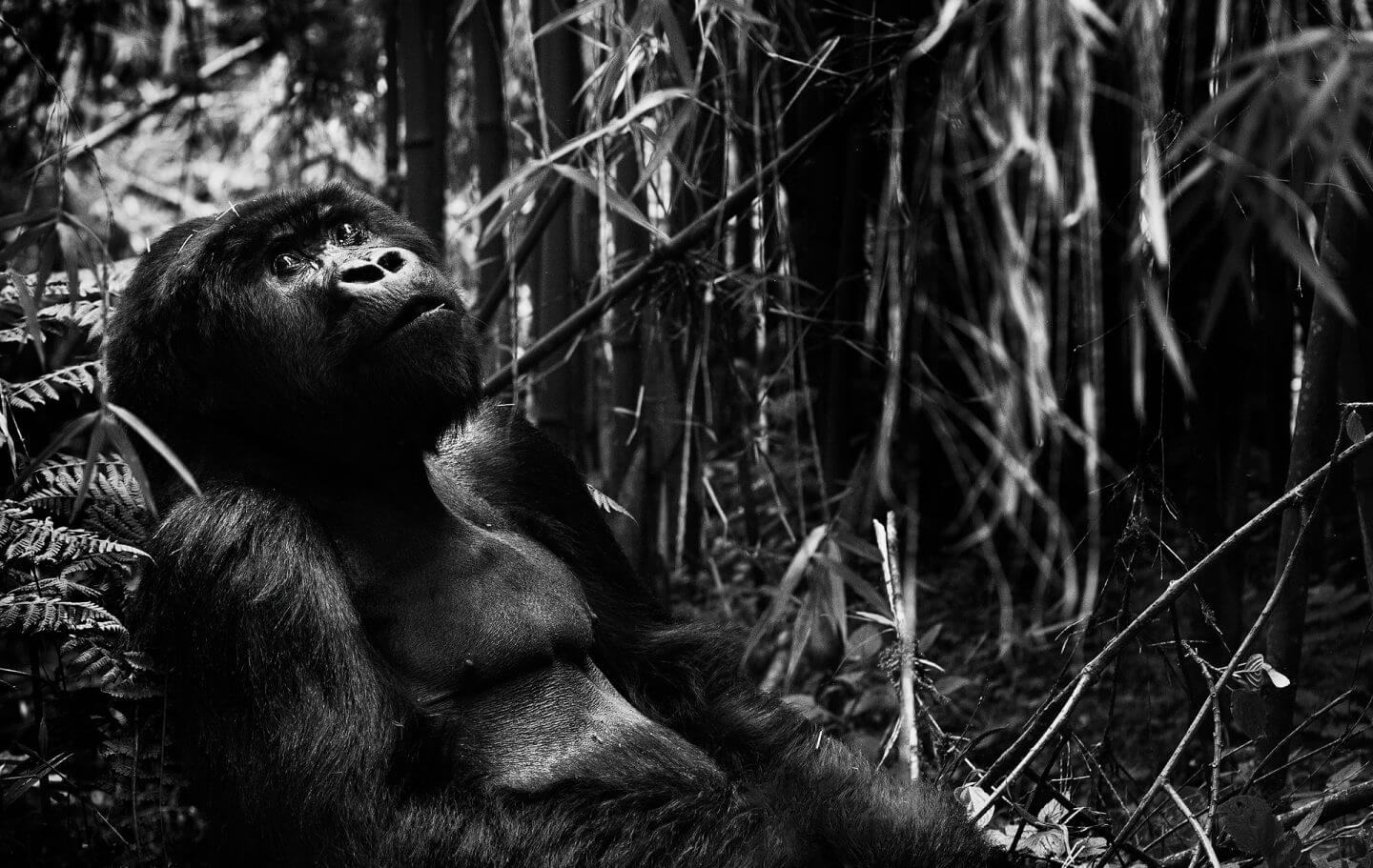 Black and white version of gorilla in rainforest