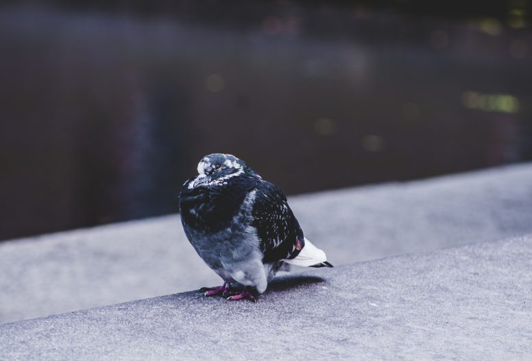 Black and white pigeon sitting on ledge
