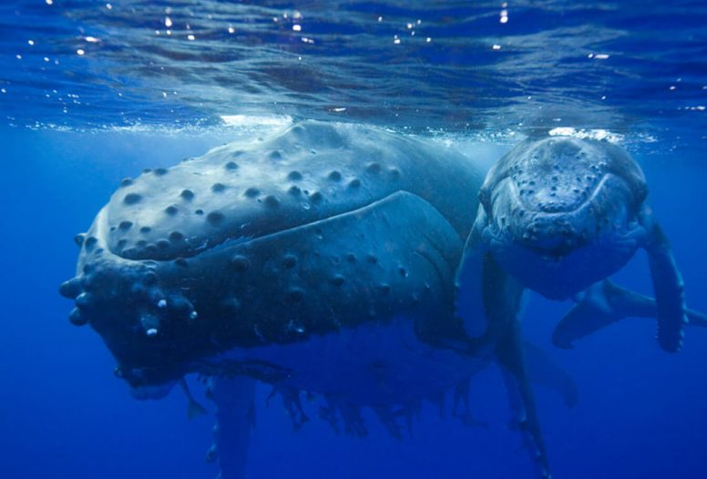 Mother and baby whale swimming together